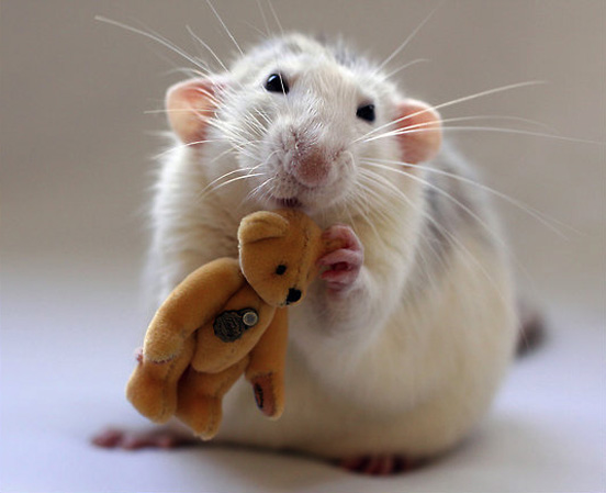 white-rat-golden-teddy